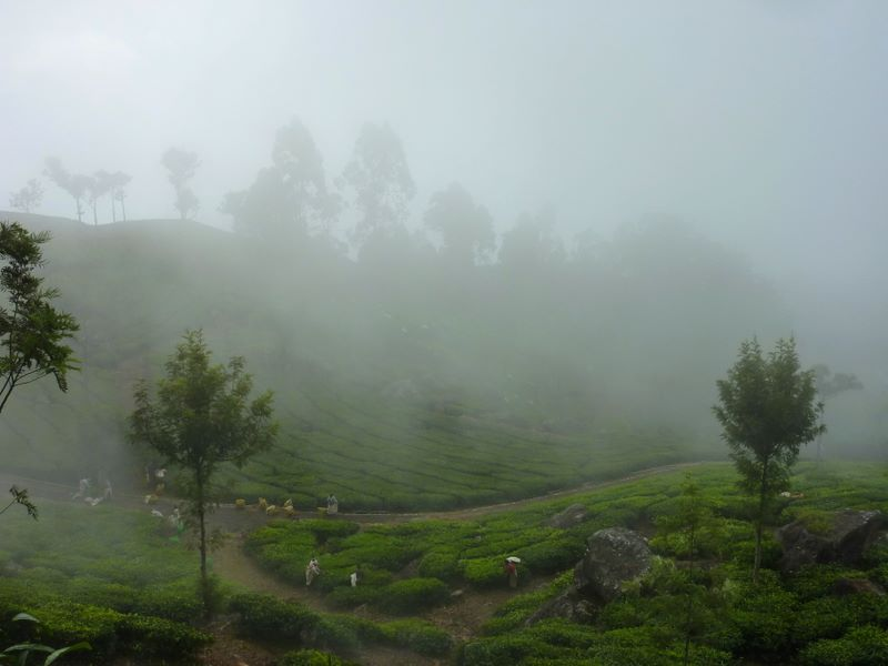 Coonoor - Tea plantations